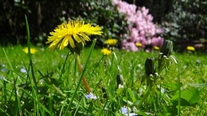 Unkraut im Rasen bekaempfen
