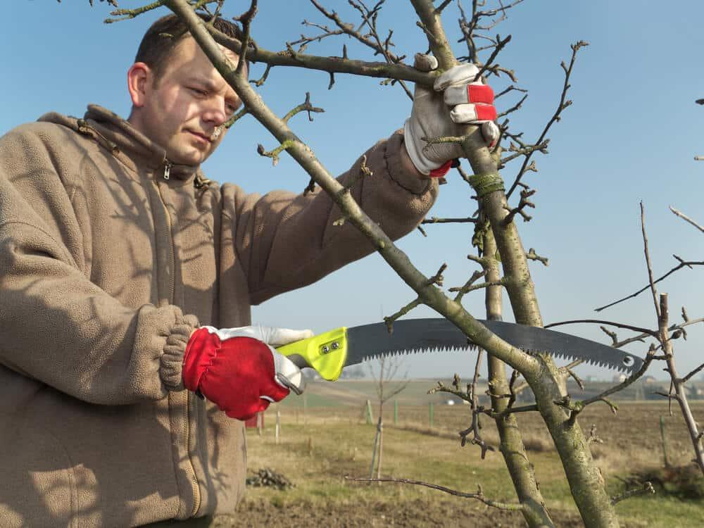 Mann schneidet einen Apfelbaum im Frühling