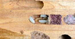 Holzwurm - Larven im Holz