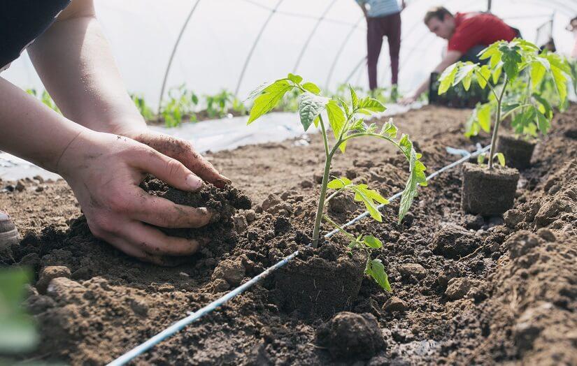 Tomatenpflanzen werden in Tomatenerde gesetzt