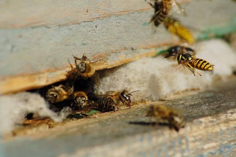 Wespenschaum-Anwendung